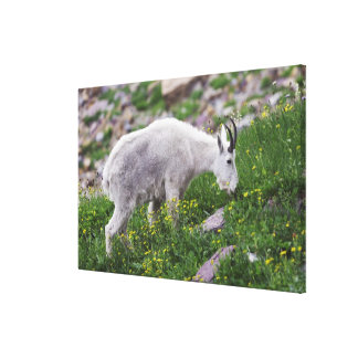 Mountain Goat, Oreamnos americanus, adult with Canvas Print