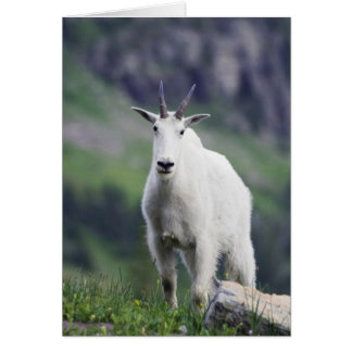 Mountain Goat, Oreamnos americanus, adult with Card