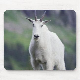 Mountain Goat Oreamnos americanus adult with Mouse Pads