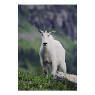 Mountain Goat, Oreamnos americanus, adult with Poster