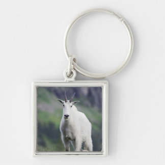 Mountain Goat, Oreamnos americanus, adult with Silver-Colored Square Keychain