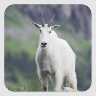 Mountain Goat, Oreamnos americanus, adult with Square Sticker