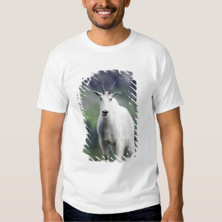 Mountain Goat, Oreamnos americanus, adult with T Shirt