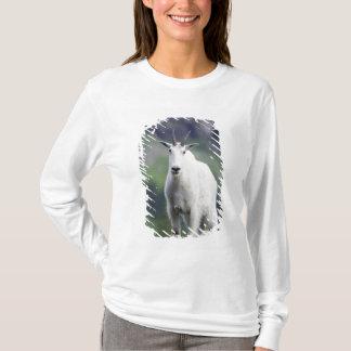 Mountain Goat, Oreamnos americanus, adult with T-Shirt