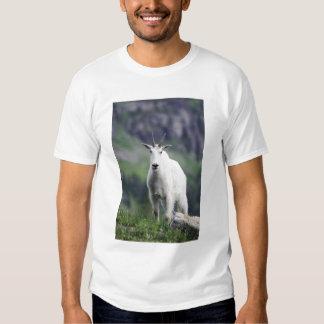 Mountain Goat, Oreamnos americanus, adult with Tee Shirt