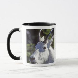 Mountain Goat, Oreamnos americanus, In Glacier Mug