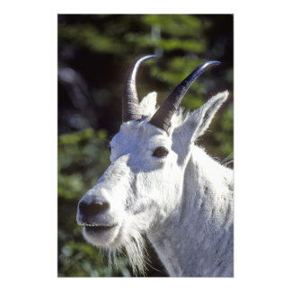 Mountain Goat, Oreamnos americanus, In Glacier Photo Print