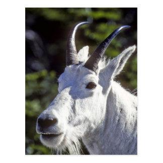 Mountain Goat, Oreamnos americanus, In Glacier Postcard