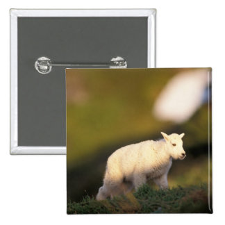 mountain goat, Oreamnos americanus, kid on a 2 2 Inch Square Button