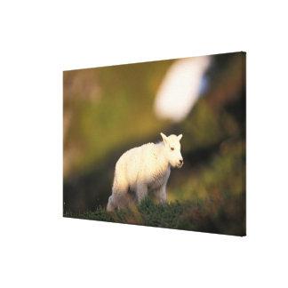 mountain goat, Oreamnos americanus, kid on a 2 Canvas Print