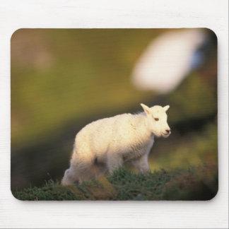 mountain goat, Oreamnos americanus, kid on a 2 Mouse Pad