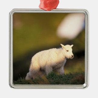 mountain goat Oreamnos americanus kid on a 2 Christmas Tree Ornament