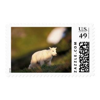 mountain goat, Oreamnos americanus, kid on a 2 Postage