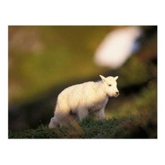 mountain goat, Oreamnos americanus, kid on a 2 Postcard