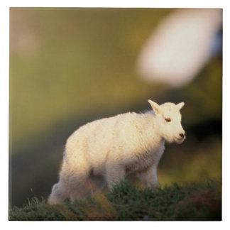 mountain goat, Oreamnos americanus, kid on a 2 Tile