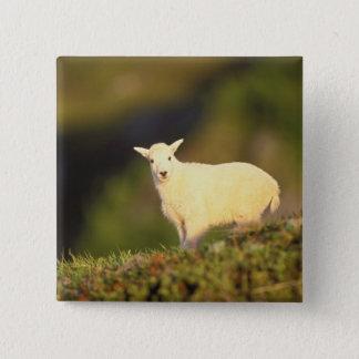 mountain goat, Oreamnos americanus, kid on a Pinback Button
