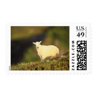 mountain goat, Oreamnos americanus, kid on a Postage