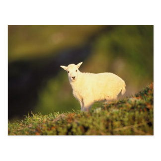 mountain goat, Oreamnos americanus, kid on a Postcard