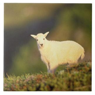 mountain goat, Oreamnos americanus, kid on a Tile