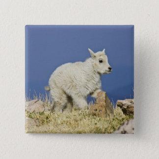 Mountain Goat (Oreamnos americanus) kid or baby Pinback Button