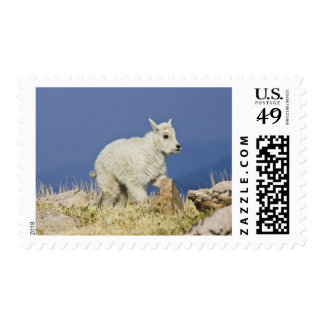 Mountain Goat (Oreamnos americanus) kid or baby Postage