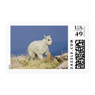 Mountain Goat Oreamnos americanus kid or baby Postage Stamp