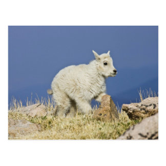 Mountain Goat (Oreamnos americanus) kid or baby Postcard