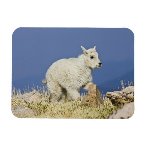 Mountain Goat (Oreamnos americanus) kid or baby Flexible Magnets