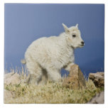 Mountain Goat (Oreamnos americanus) kid or baby Tile