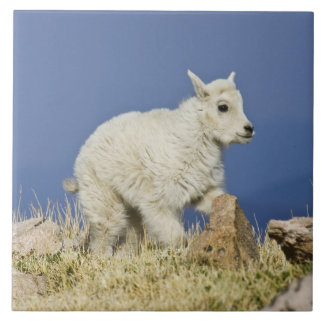 Mountain Goat (Oreamnos americanus) kid or baby Tile