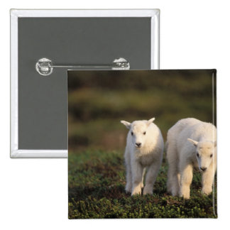 mountain goat, Oreamnos americanus, pair of 2 Inch Square Button