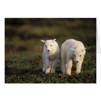 mountain goat, Oreamnos americanus, pair of Card