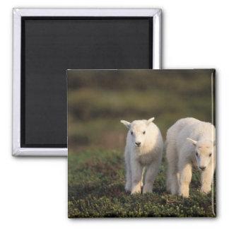 mountain goat, Oreamnos americanus, pair of Magnet