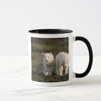 mountain goat, Oreamnos americanus, pair of Mug