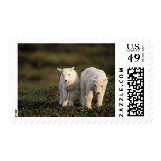 mountain goat, Oreamnos americanus, pair of Postage