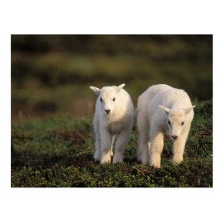 mountain goat, Oreamnos americanus, pair of Postcard