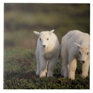mountain goat, Oreamnos americanus, pair of Tile