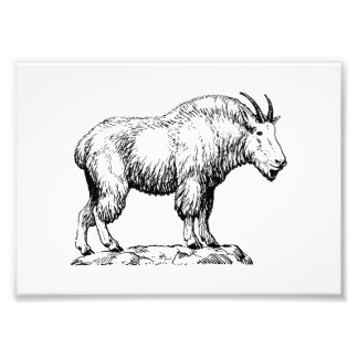 Mountain Goat Photograph