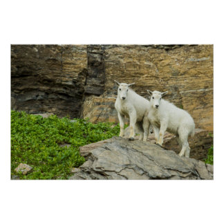 Mountain goat playing in Glacier National Park Poster