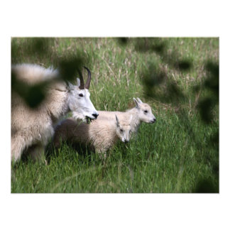 Mountain Goat Twins Photographic Print