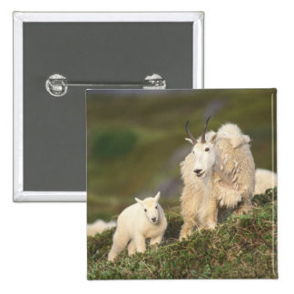 mountain goats, Oreamnos americanus, mother and 2 2 Inch Square Button