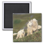 mountain goats, Oreamnos americanus, mother and 2 Magnet