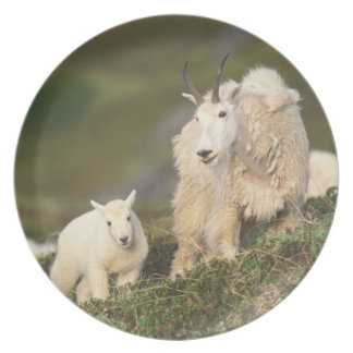 mountain goats, Oreamnos americanus, mother and 2 Plate
