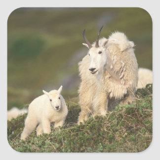 mountain goats, Oreamnos americanus, mother and 2 Square Sticker