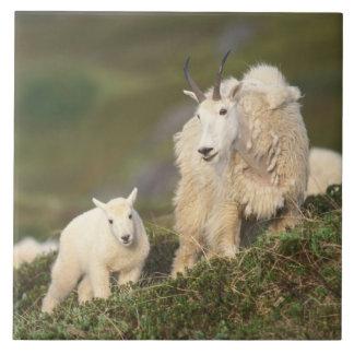 mountain goats, Oreamnos americanus, mother and 2 Tile