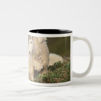 mountain goats, Oreamnos americanus, mother and 2 Two-Tone Coffee Mug
