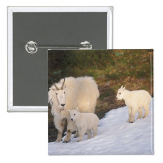 mountain goats, Oreamnos americanus, mother and 2 Inch Square Button
