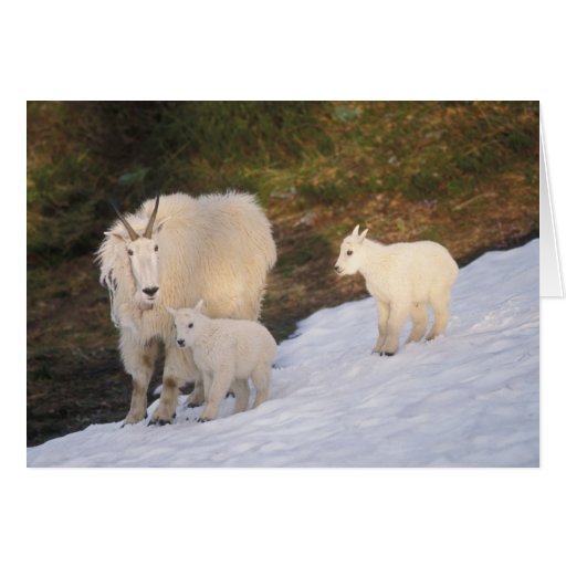 mountain goats, Oreamnos americanus, mother and Greeting Cards