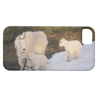 mountain goats, Oreamnos americanus, mother and iPhone 5 Cover