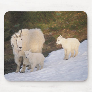 mountain goats, Oreamnos americanus, mother and Mouse Pad